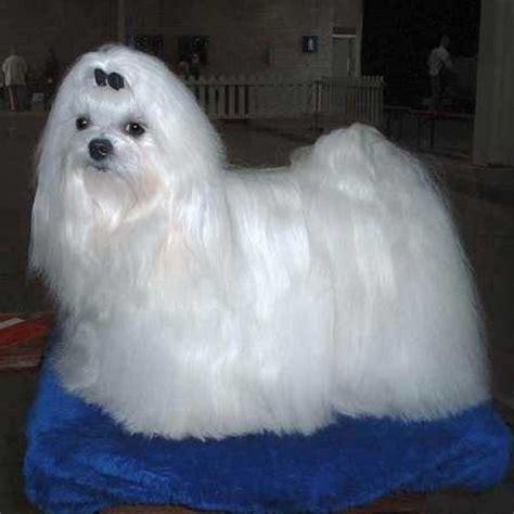 maltese puppy maltese breed photos information