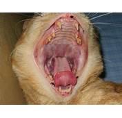 Les Probl&232mes Dentaires Chez Le Chat  Causes Sympt&244mes