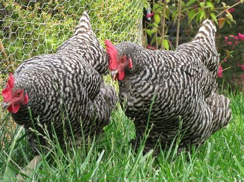 best backyard chicken breeds 8 great backyard chicken breeds gardening country life