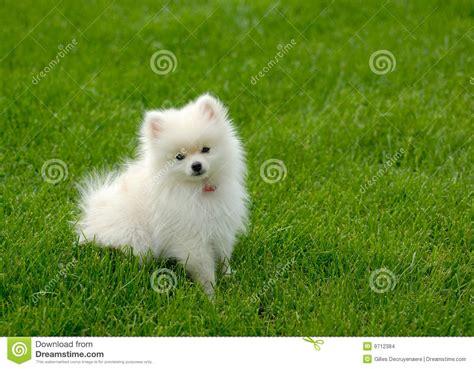 pomeranian no filhote de cachorro branco de pomeranian no gramado quarto para o texto imagens de