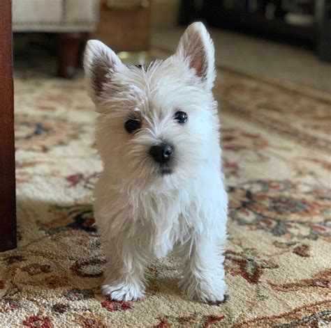 west highland terrier puppies  east malling kent