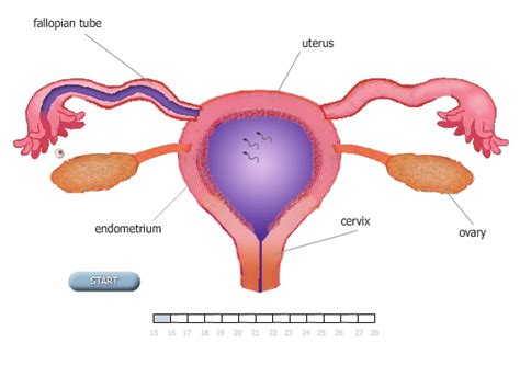 Fertilization Calendar Search Results For Ovulation To Implantation Calendar 2015