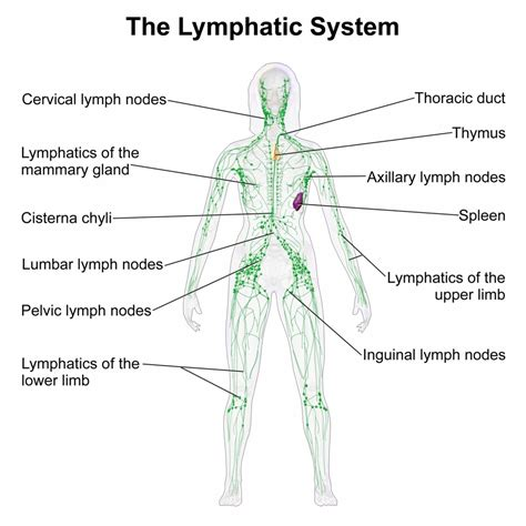 lymph nodes in neck diagram location lymph glands locations diagram lymph node anatomy of