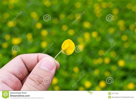 small yellow flower pinto peanut plant stock image image