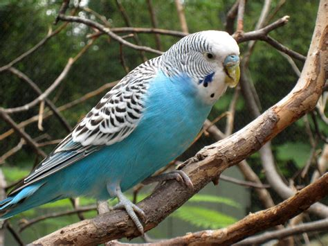Budgerigar Facts and Latest Photographs | The Wildlife
