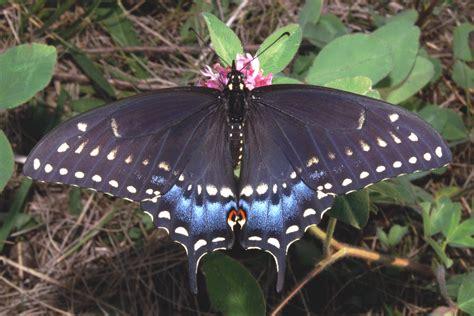 black swallowtail butterfly black swallowtail butterfly backyard butterfly garden