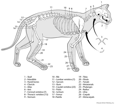 labeled cat skeleton diagram printable cat skeleton veterinary play