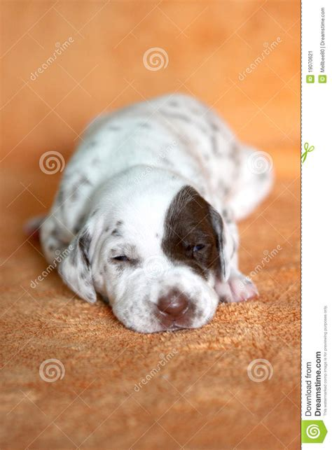 puppy patch liver dalmatian puppy with patch stock image image 19070621