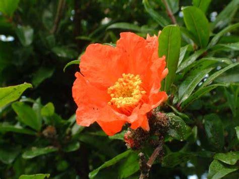 lo è il fiore melograno mai dire melograno tutto per le ricerche