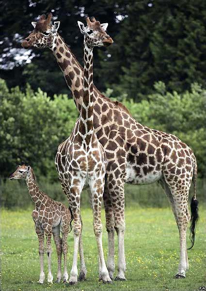 imagenes de jirafas en familia primer grado punta chica fotos de jirafas