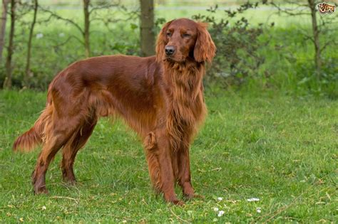 irish setter house dog english setter or irish setter what s the difference in