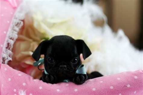 pug puppies south florida puppy boutique store teacup puppies for sale
