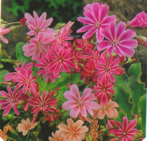 harros pflanzenwelt lewisia cotyledon porzellanr 246 schen pflanzenversand