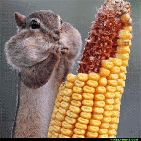 corn gifs find share on giphy