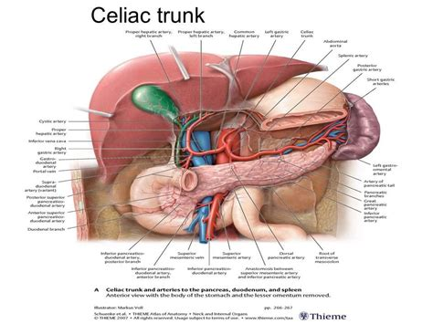 where is my spleen located diagram anatomical location of spleen anatomical free engine