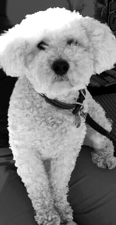 bichon frise poodle lifespan 76 best images about grooming on