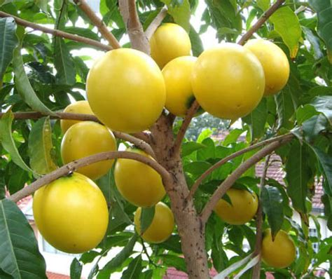 fruit trees names abiu pouteria caimito is a tropical fruit tree