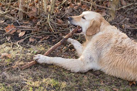 golden retriever chewing golden retriever chewing on a branch bilder und fotos creative commons 2 0