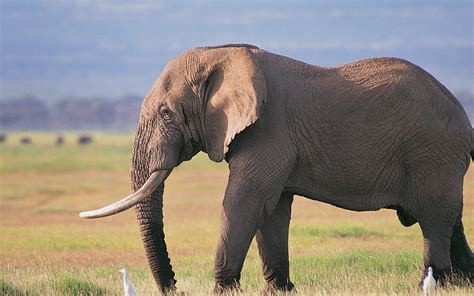 Elephant Wallpapers HD Download