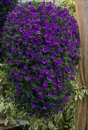 million bells plant buy calibrachoa million bells