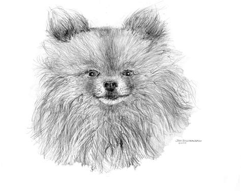 pomeranian drawing pomeranian drawing by jim hubbard