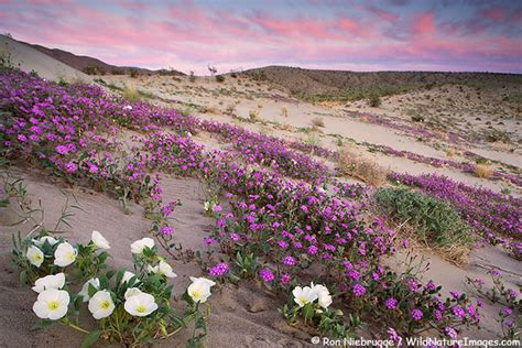 wildflowers anza borrego anza borrego wildflower photos