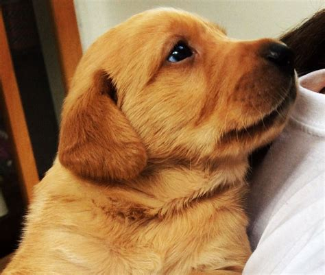 golden retriever puppies for sale in cornwall golden retriever x labrador puppies st agnes cornwall pets4homes