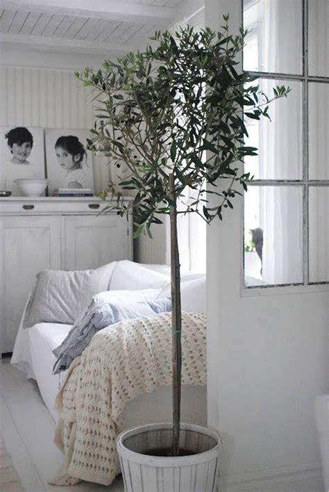 Bedroom Plants Buy Potted Indoor Olive Tree In White Bedroom Via Gardenista