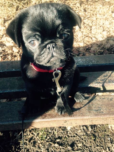 pugs for sale hshire kc registered pug for sale warrington cheshire pets4homes