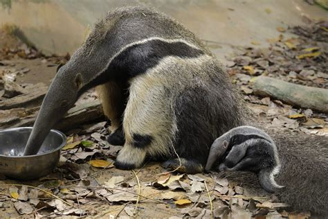 anteater family  river safari spore welcomes pup sporeans  vote