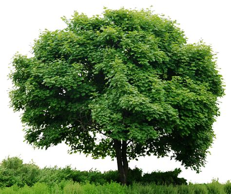 fotos de arboles en png hd tree full render by 3fixr on deviantart