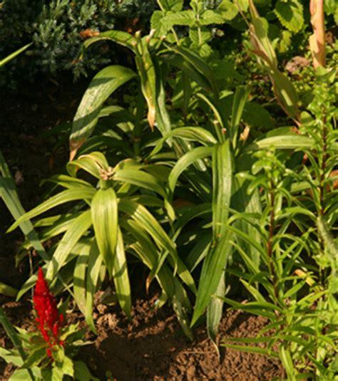 can easter lilies be planted outside easter lilium longiflorum master gardener program