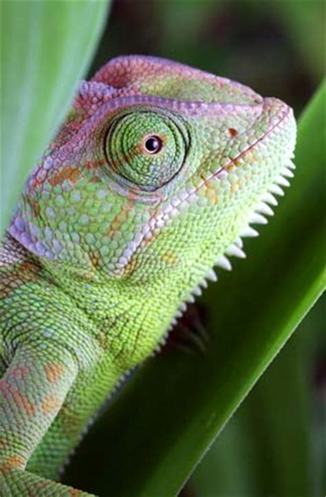 do iguanas change color animals causes of color