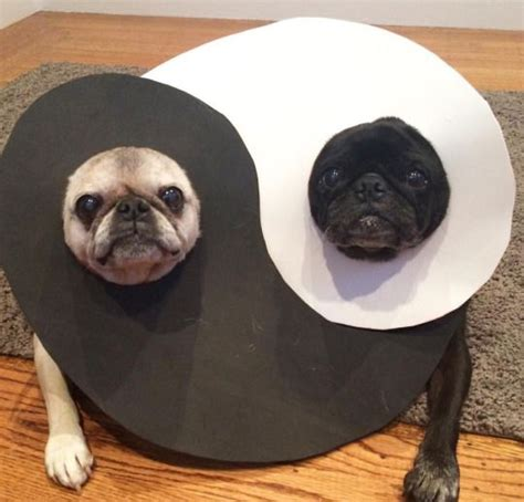pug yin yang 24 pug costumes that are so we can t even