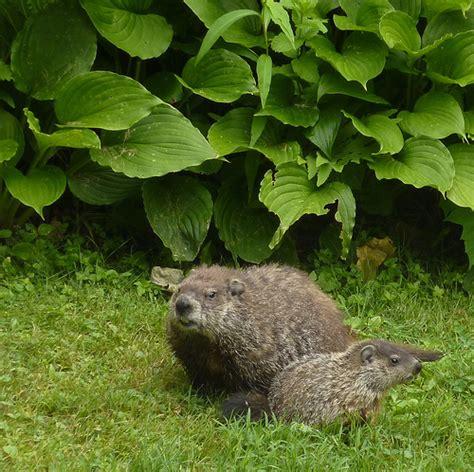 groundhog in my backyard woodchuck family these woodchucks live in my backyard