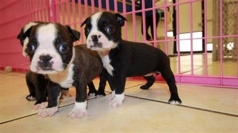 bull terrier puppies for sale in ga huggable boston terrier puppies for sale in ga at puppies for sale local breeders