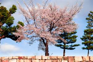 Japanese Blossom Tree gallery for gt japanese cherry blossom tree pictures