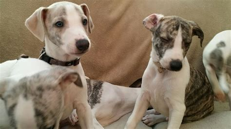whippet puppies for sale whippet puppies for sale flint clwyd pets4homes