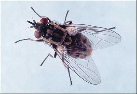 do house flies bite the ten plagues of egypt