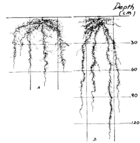 vegetable root depth the regional institute soil physical requirements for