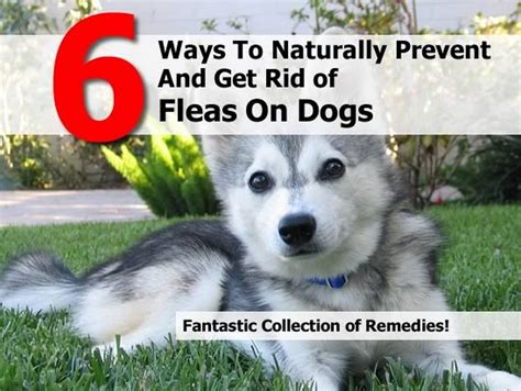 how to get rid of fleas on dogs 6 ways to naturally prevent and get rid of fleas on dogs