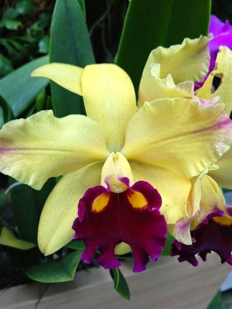 garden orchids and roses auf pinterest orchideen dfte 1000 besten cattleya die k 246 nigin der orchideen bilder
