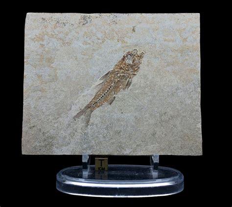 Fossil 3 3cm fossil fish dapalis macrurus 7 3 cm catawiki