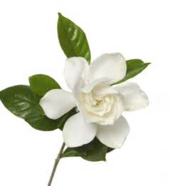 gardenia flower delivery gardenia with stem smaller white gardenia with stem