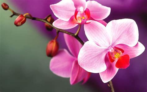 come curare orchidea in vaso orchidea orchidee curare l orchidea