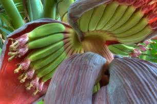banana flower search in pictures