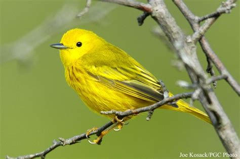 types of birds yellow warbler dendroica petechia