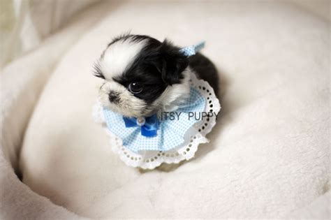 teacup shih tzu weight sold vera shih tzu itsy puppy teacup microteacup puppies for sale