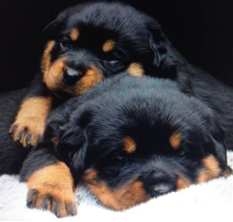 rottweiler puppies images images of rottweiler puppies www imgkid the image