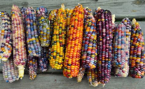 colored corn this all corn is bejeweled with brilliantly